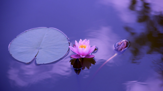 Water lotus flower